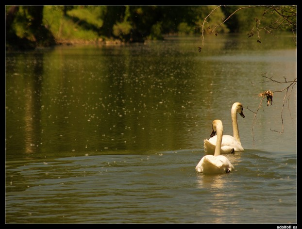 2010-05-22 Cisnes en el Carrion.jpg